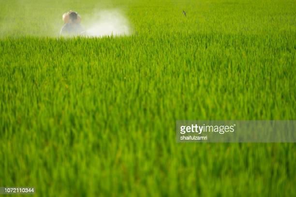 Unknown local farmer spraying pesticide on green paddy field in Selangor, Malaysia.