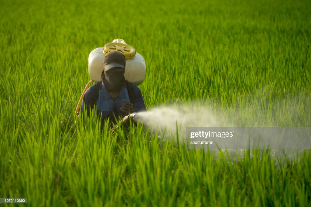 Unknown local farmer spraying pesticide on green paddy field in Selangor, Malaysia. : Stock Photo