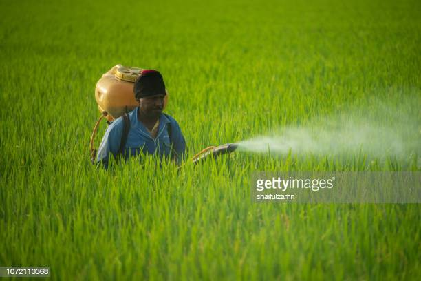unknown local farmer spraying pesticide on green paddy field in selangor, malaysia. - shaifulzamri fotografías e imágenes de stock