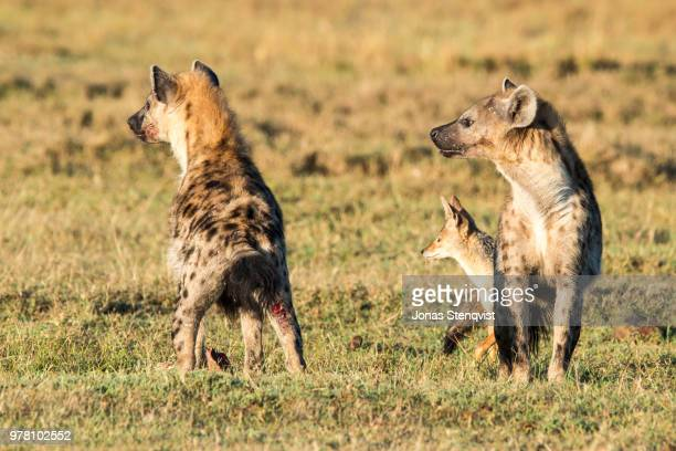 unlikely trio - hyena stock pictures, royalty-free photos & images