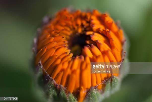 unopened gazania flower - 蕾 ストックフォトと画像