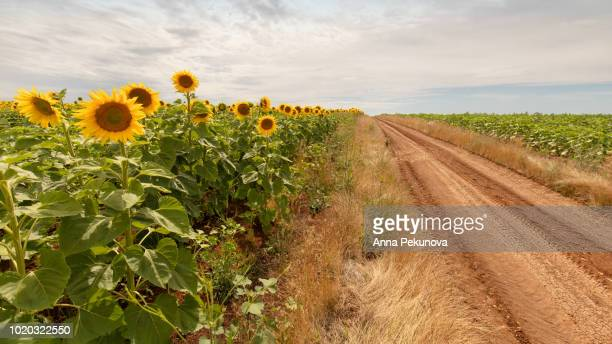 Unpaved path and sunflowers field