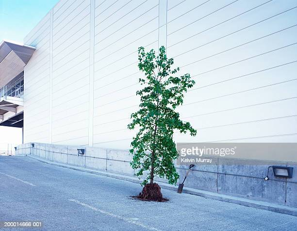 Unpotted tree on road