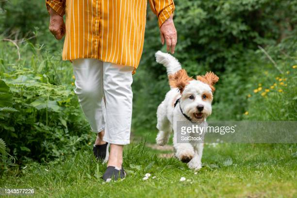 unrecognisable senior woman walking her cavapoo dog - morpeth stock pictures, royalty-free photos & images