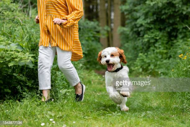 unrecognisable woman walking her cavapoo dog - morpeth stock pictures, royalty-free photos & images