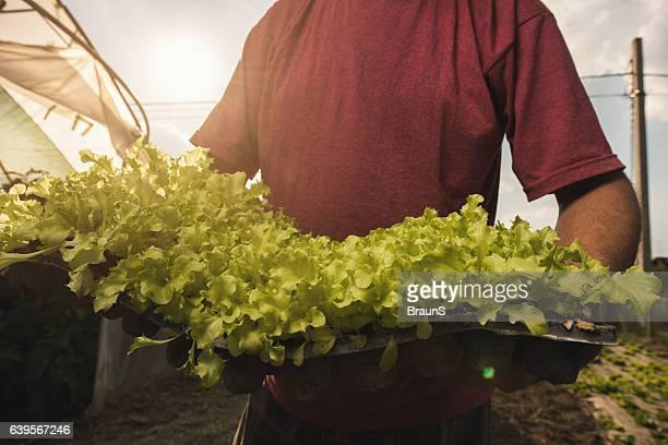 trabalhador rural irreconhecível com produção local alface ao ar livre. - trabalhador rural - fotografias e filmes do acervo