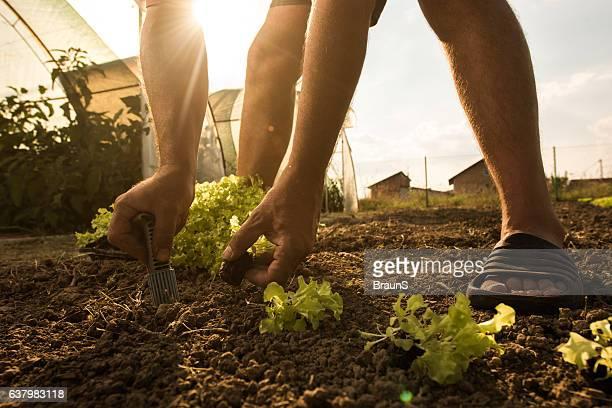 Unrecognizable farmer seeding lettuce on a field.