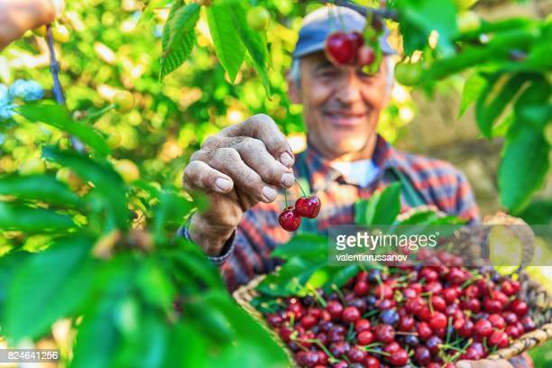 Unrecognizable mature man holding a basket with cherry fruits