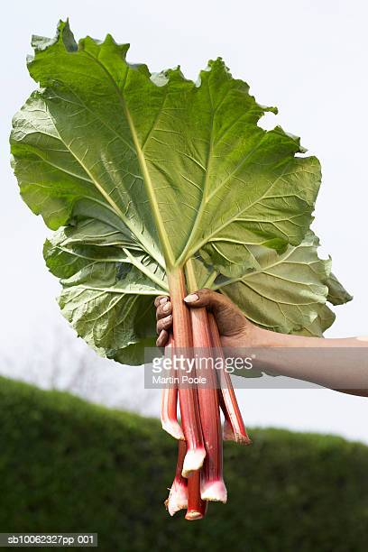 Unrecognizable person holding bunch of rhubarb in garden