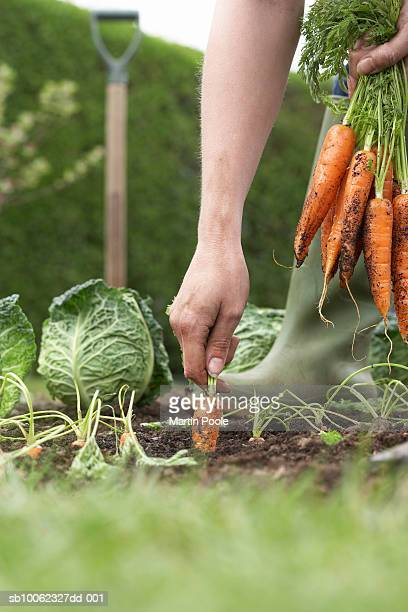 Unrecognizable person picking carrots on field, close-up, low section