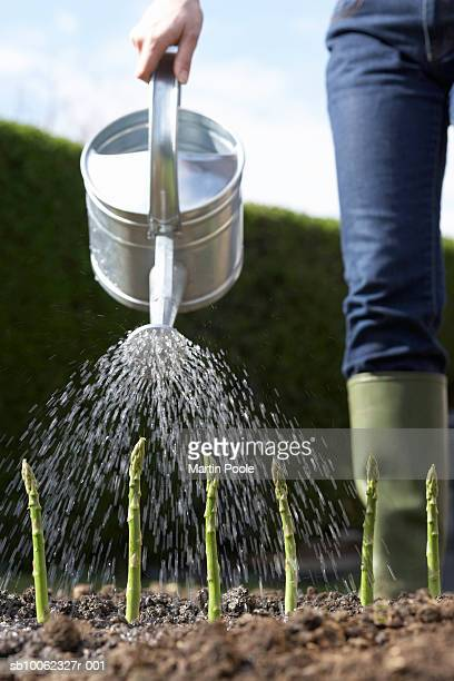 Unrecognizable person watering spears of green asparagus in field, low section