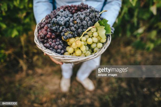unrecognizable senior woman holding a basket with grapes - grape stock pictures, royalty-free photos & images