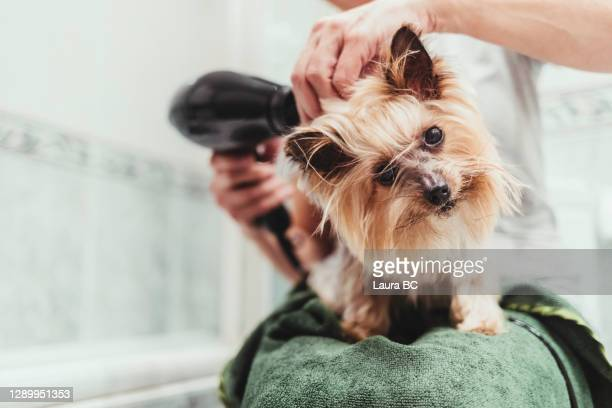 unrecognizable woman drying her dog with a hair dryer after a bath - groom stock pictures, royalty-free photos & images