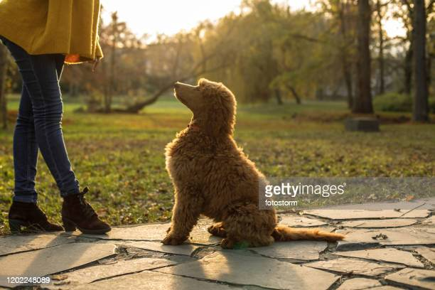 unrecognizable woman training her poodle to do dog tricks while on a walk at the park - poodle stock pictures, royalty-free photos & images