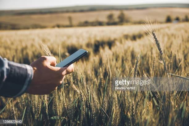 認識できない若い農家は、小麦畑でスマートフォンを使用しています - スマート農業 ストックフォトと画像