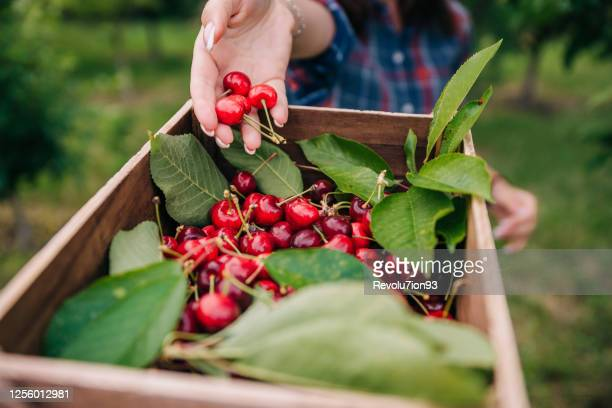 果樹園でサクランボを摘む認識できない若い女性 - サワーチェリー ストックフォトと画像
