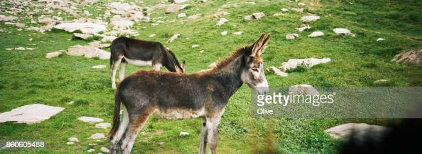 unrestrained donkeys in alps mountains , Italy, August 2017,
