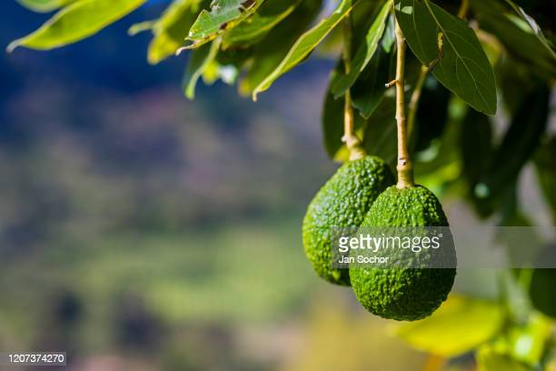 Unripe avocados are seen growing on a tree at a plantation on October 16 2019 near Medellín Colombia Colombian avocado industry has experienced a...