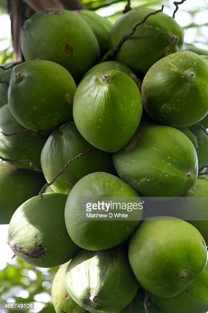Unripe Coconuts, Costa Rica
