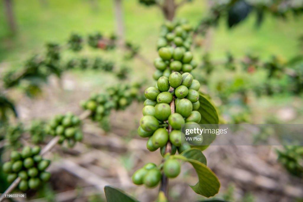 Unripe coffee beans growing on tree in Rwanda : News Photo