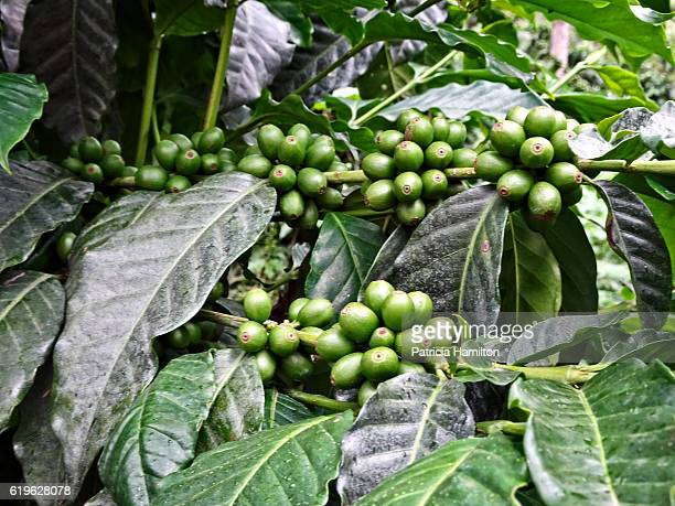 Unripe coffee beans on plant
