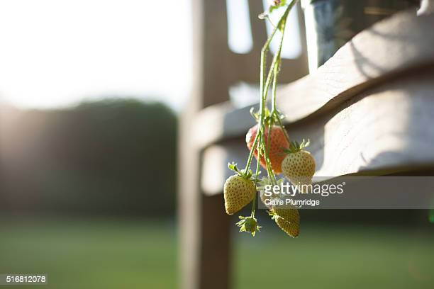 unripe fresh strawberries - claire plumridge stock pictures, royalty-free photos & images