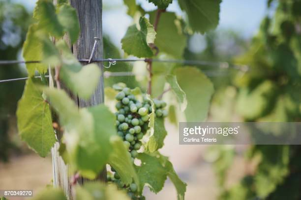 unripe grapes on the vine - grape leaf stock pictures, royalty-free photos & images