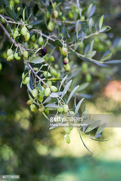 unripe olives in branch - olive orchard stock photos and pictures