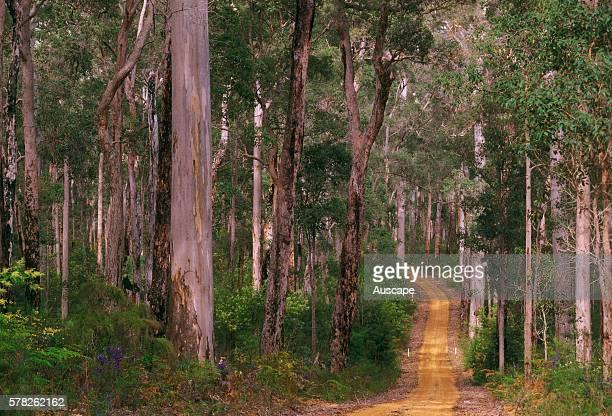 Unsealed road winding through forest of Karri and Jarrah trees Eucalyptus diversicolor and Eucalyptus marginata Shannon National Park Western...