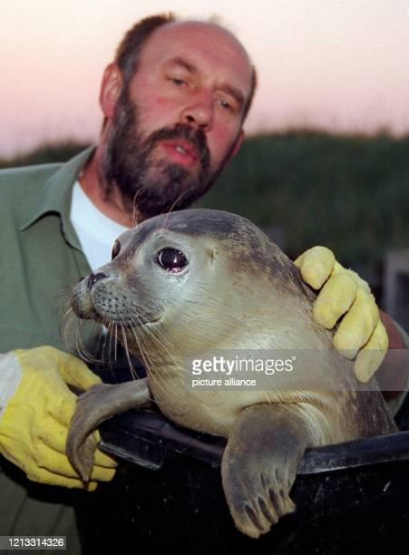 Unter den wachsamen Augen seines Betreuers Delf Wille blickt ein kleiner Seehund, ein sogenannter Heuler, am 21.8.1996 aus seinem Transportbehälter...