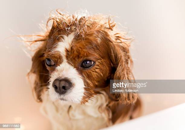 untitled (of ) - spaniel stock photos and pictures