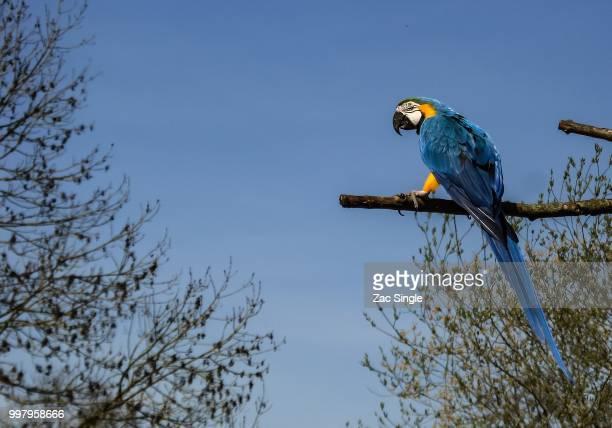 untitled - arara azul grande imagens e fotografias de stock