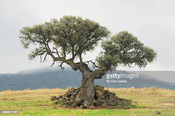 unusual tree - tree with thorns on trunk stock photos and pictures