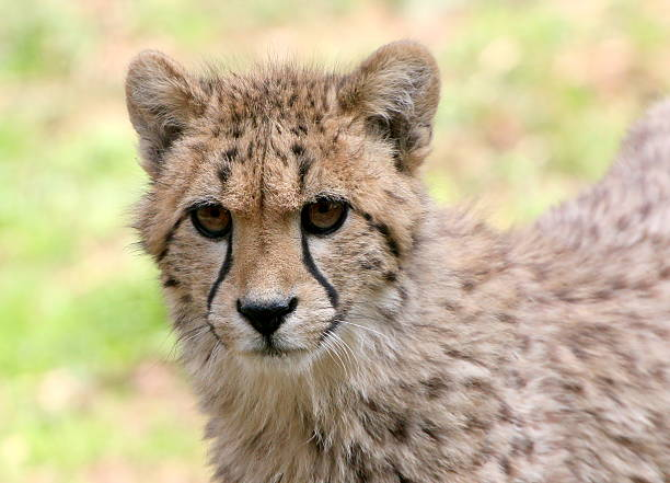 Unwavering Cheetah Youngster Wall Art
