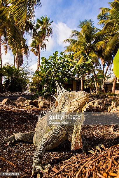 up close and personal - green iguana ストックフォトと画像