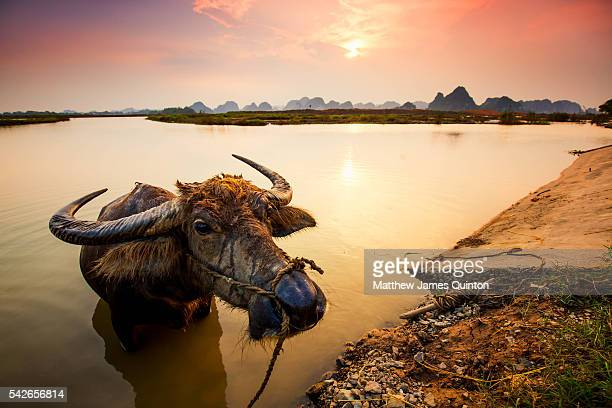 Up close to water buffalo as it enjoys bathing in river as sun sets over limestone formations in background