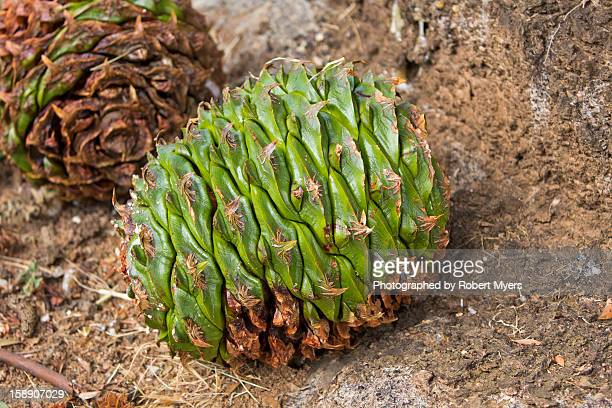 up close with a bunya pine cone - wagga wagga stock pictures, royalty-free photos & images