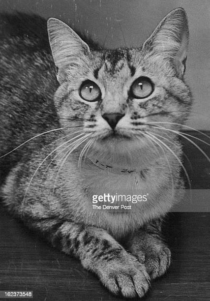 SEP 1 1978 SEP 2 1978 Up For Adotpion This is Sherri a 2yearold spayed t silver tabby cat which is available as a family pet from the Denver Dumb...