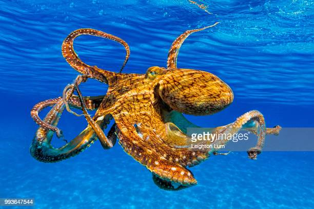 up from the depths - octopus stock pictures, royalty-free photos & images