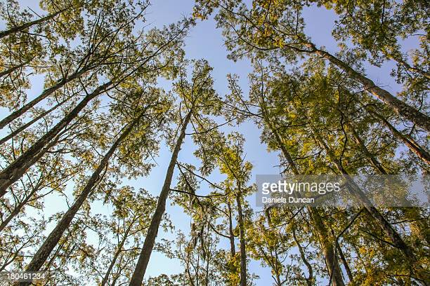 up is the way - bald cypress tree stock photos and pictures