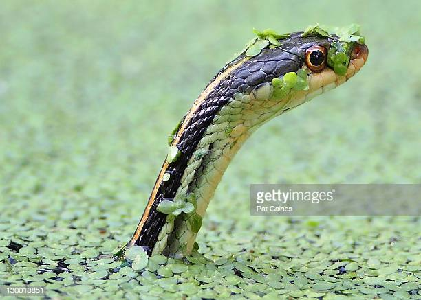 up periscope! - garter snake stock pictures, royalty-free photos & images