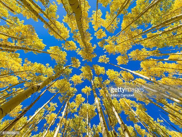 Up Through An Aspen Forest In Fall