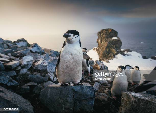 up top - galapagos penguin stock pictures, royalty-free photos & images