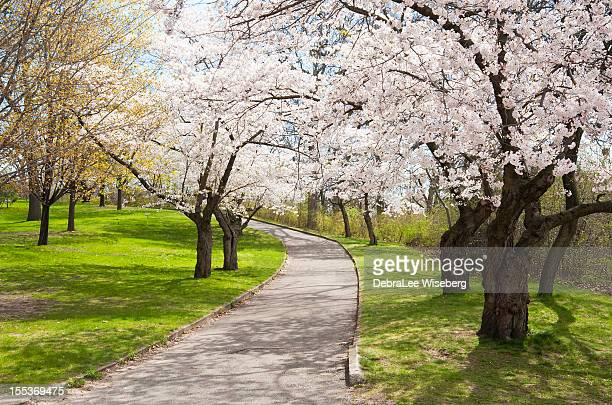 Uphill Climb with Cherry Trees