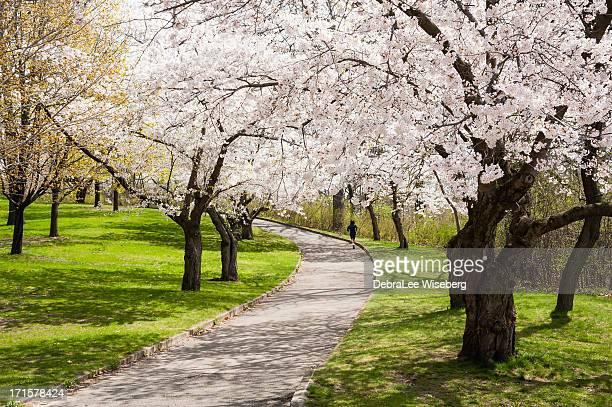 Uphill Run Amongst The Cherry Trees