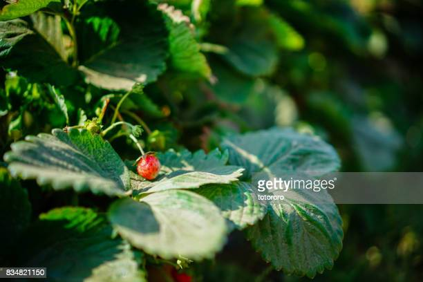 u-pick (pick by yourself) strawberry and blueberry fields in langley, bc canada. - strawberry fields stock photos and pictures
