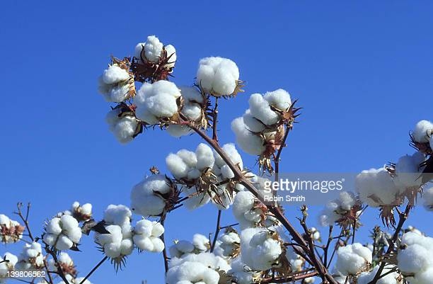 Upland cotton, Bourke area, NSW