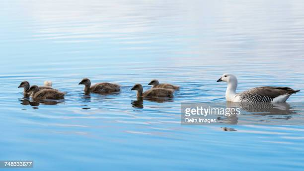 Upland geese family (Chloephaga picta), swimming in a lake, Port Stanley, Falkland Islands, South America