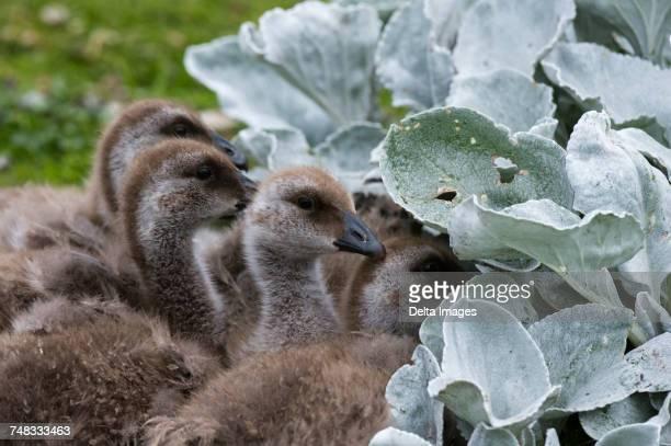 Upland goose chicks (Chloephaga picta) close-up, Port Stanley, Falkland Islands, South America