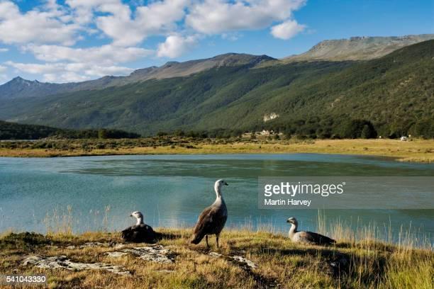 Upland Goose in Tierra del Fuego National Park